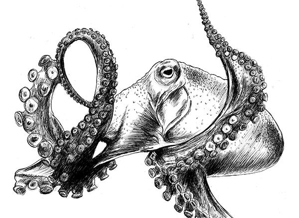 Bruno octopus